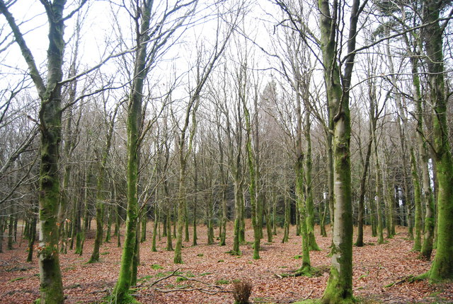 Birch trees, Monkham Wood