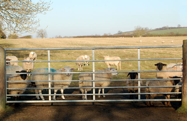 Sheep waiting to be fed north of Willoughby