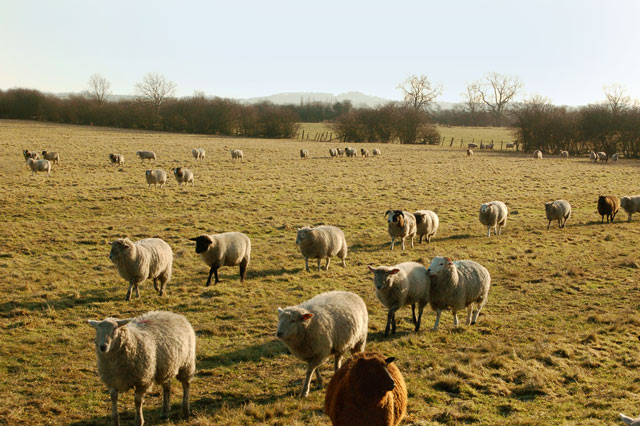 Sheep on the march north of Willoughby