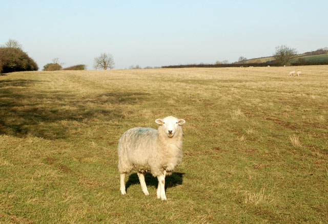 A sheep on the bridleway to Onley Fields