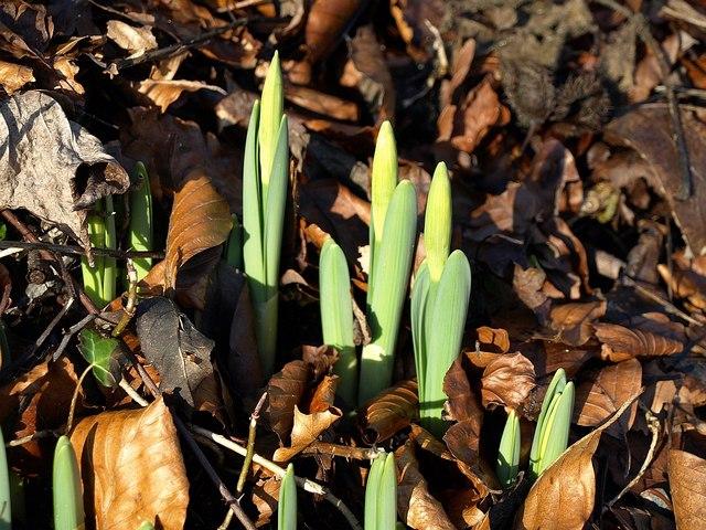 Budding daffodils, Ozleworth