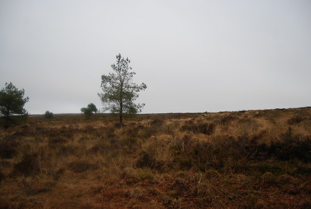 Isolated trees on the moorland, Withycombe Common