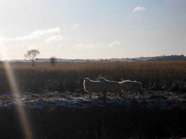 Sheep in Cors Caron