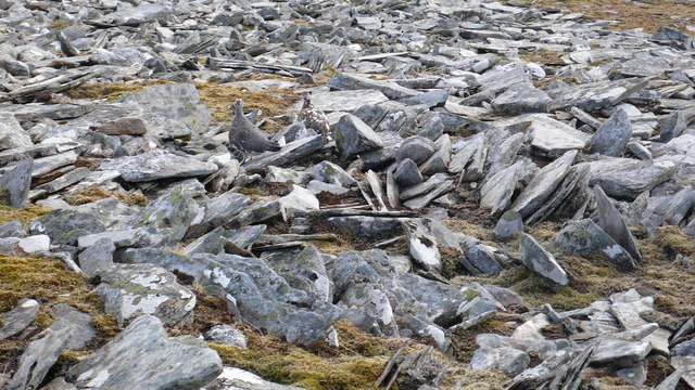 Frost shattered debris and ptarmigan on Ceannaichean