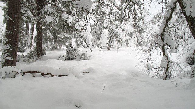Heavy snow, Rothiemurchus Forest