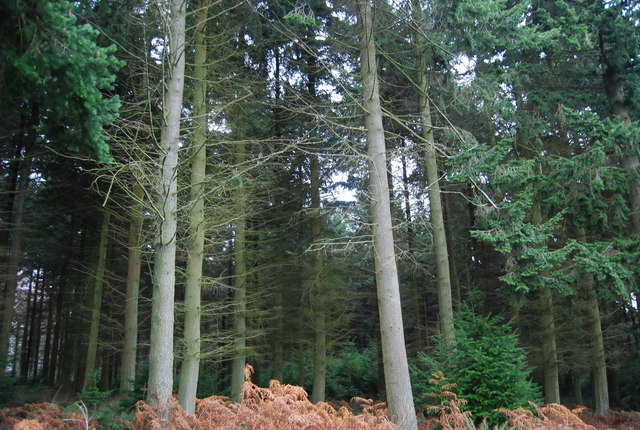 Conifers on the edge of Withycombe Scruffets