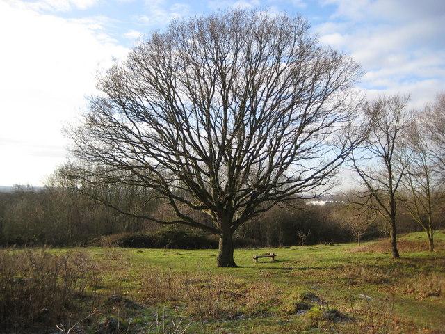 Horsenden Hill oak tree
