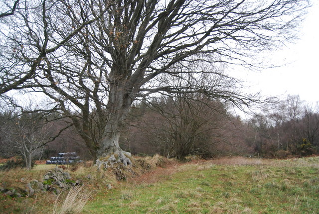 Large oak tree by the bridleway
