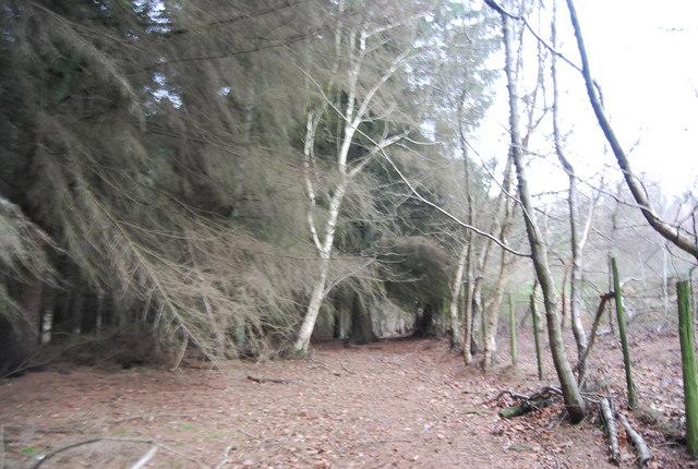 Conifers in Aller Hill