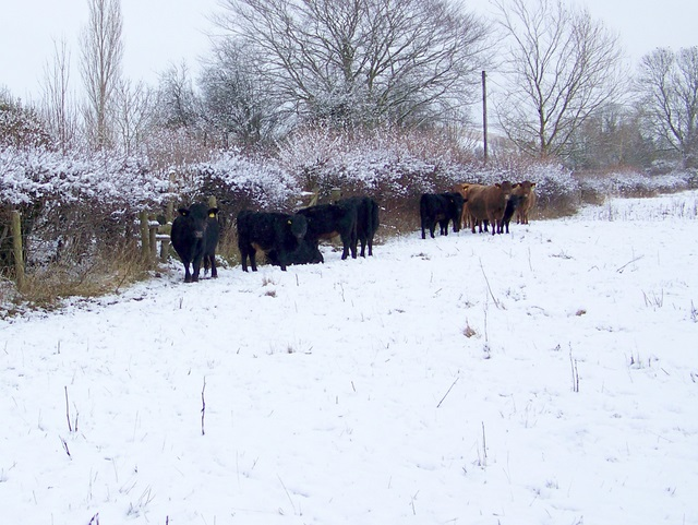 Dexter cattle, Faulston
