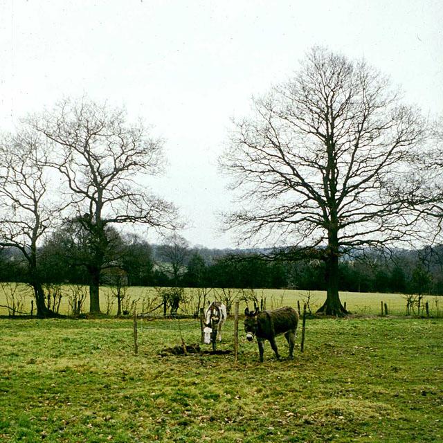 Donkeys in field