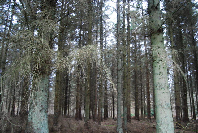 Conifers, Aller Hill