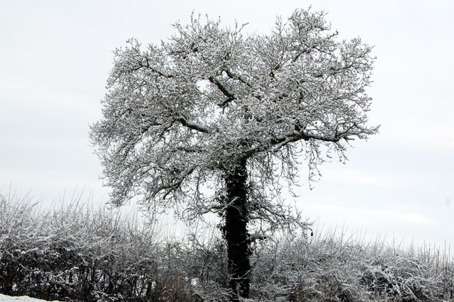 Snow-covered tree beside the A426 near Broadwell
