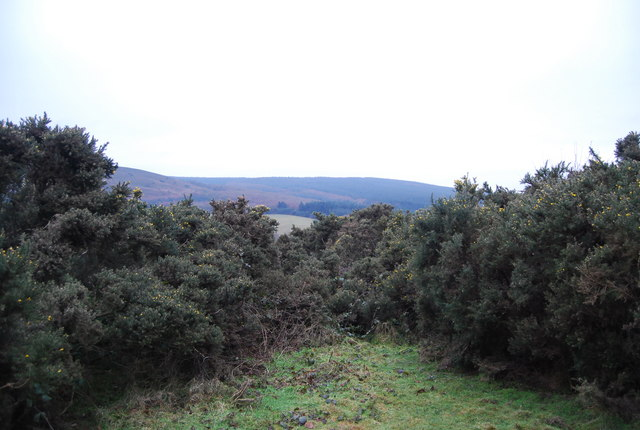Gorse by the Macmillan Way West, Withycombe Hill