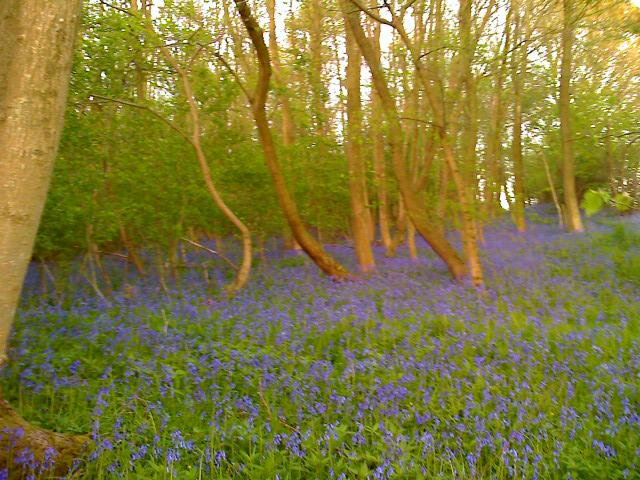 Bluebells in Bow Wood