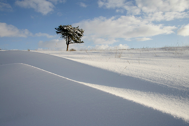 A lone Scots pine on Darling's Hill