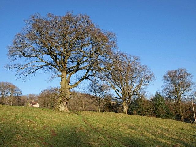 Oaks in Ozleworth Bottom
