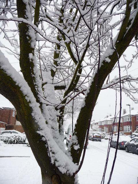 Snow covered tree, Lakenheath, London N14