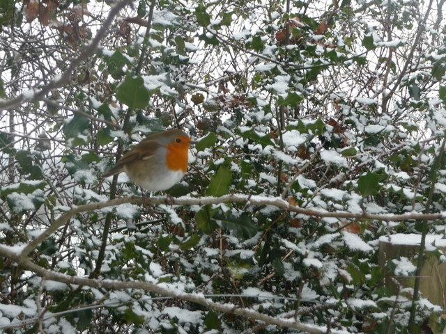 Mid Devon : Robin Red Breast & Snow Covered Holly