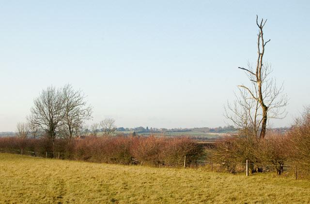 Dead tree in hedgerow near Onley Fields Farm