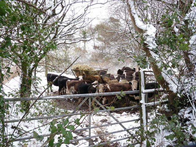Cows grazing near Francis Farm