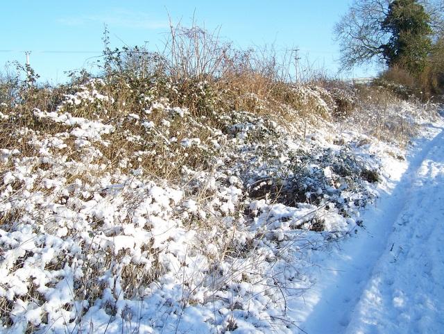 Hedge, Faulston Farm