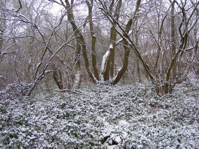 Snowy Coppice