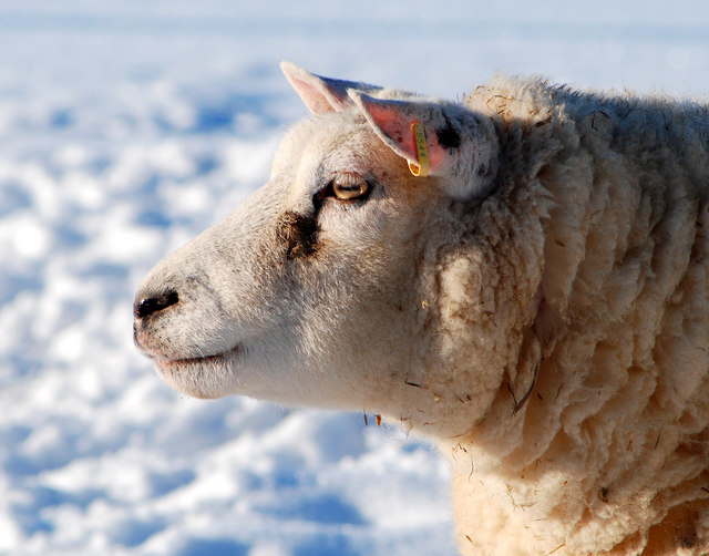 Day dreaming sheep