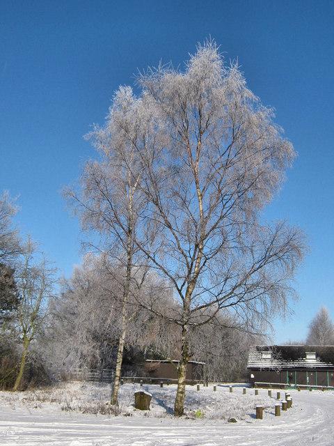 Silvery Birches