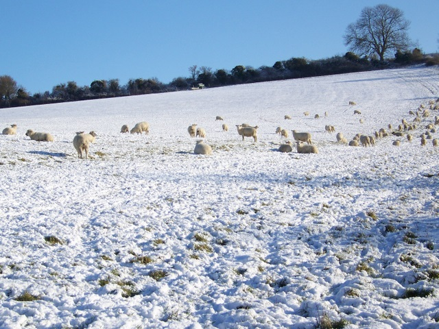 Sheep, Throope Down