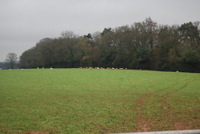 Sheep in front of Cliff Copse