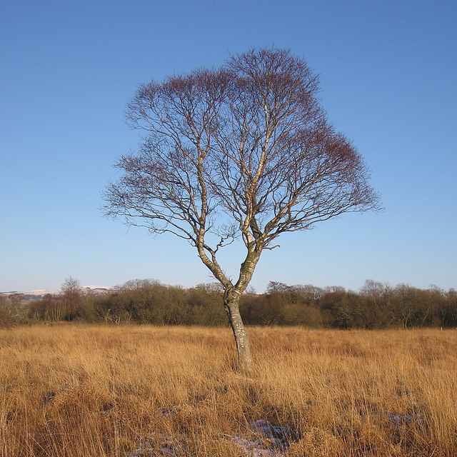 Solitary tree in Cors Caron Nature Reserve