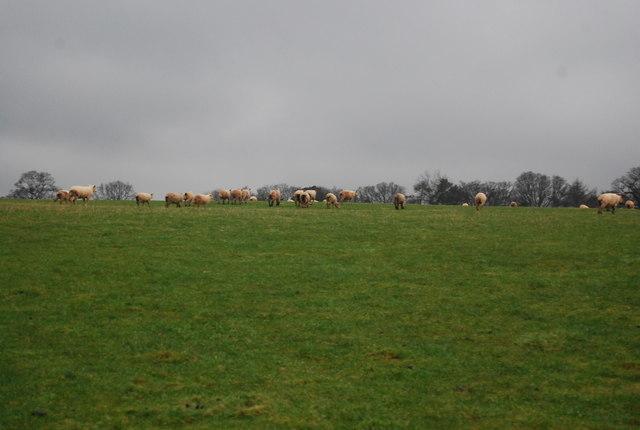 Sheep, Lawford Farm