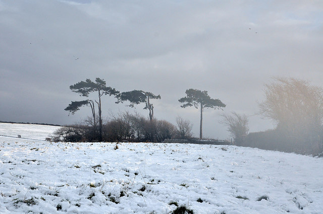Stunted Pines and approaching mist