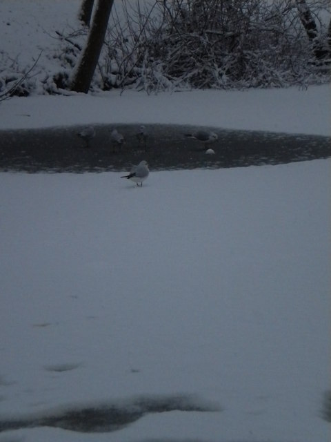 Birds on a frozen pond, Golders Hill Park NW11