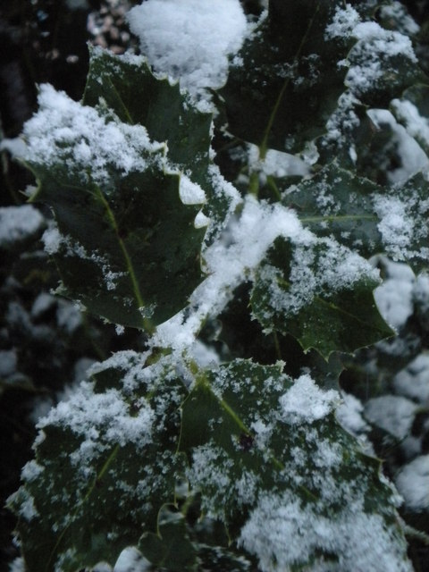 Snow-covered holly, Golders Hill Park NW11