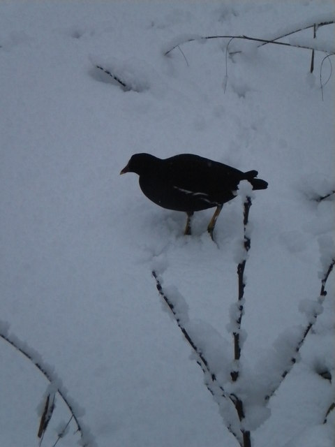 Bird in the snow, Golders Hill Park NW11