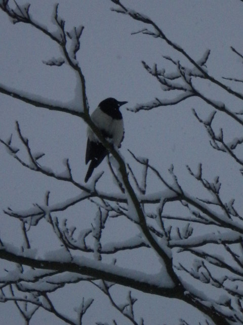 Magpie in snowy tree, Golders Hill Park NW11