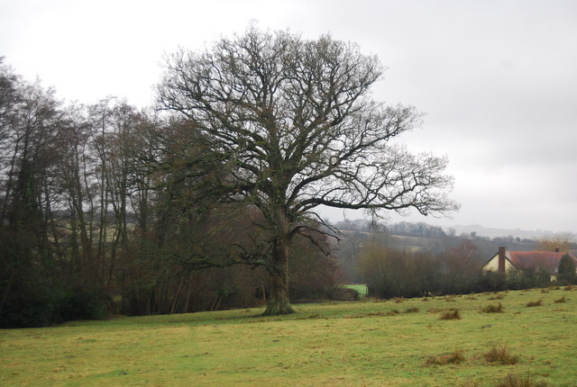 Large Oak tree by the footpath