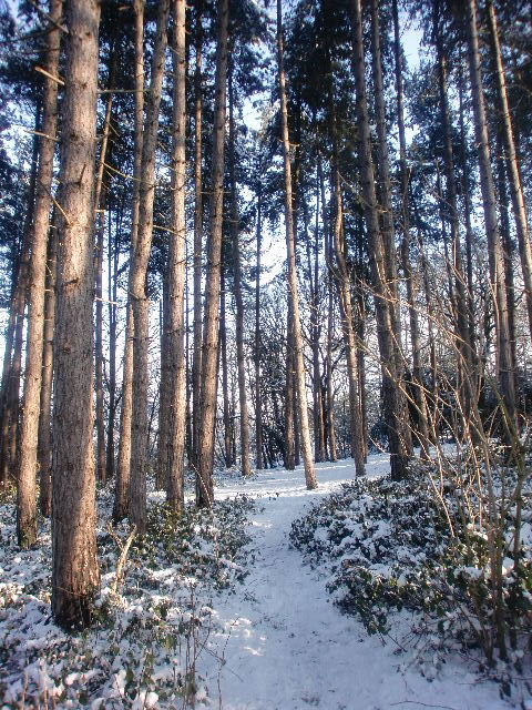 Pine Wood in Trent Park, London N14