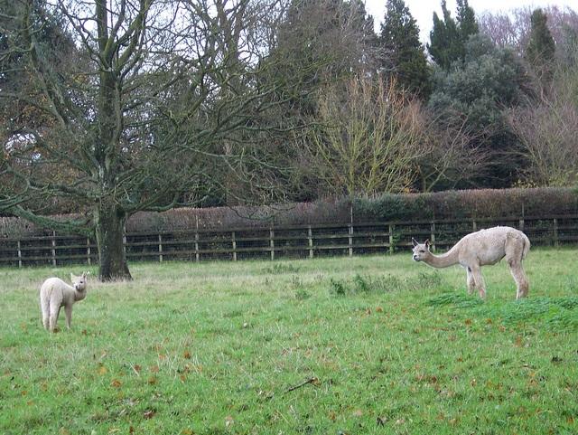 Hembra and cria, Lambourn Woodlands