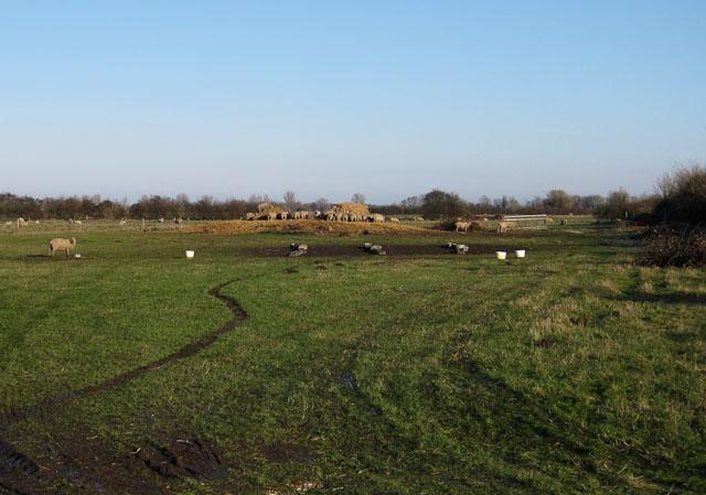 Sheep at Moor Farm