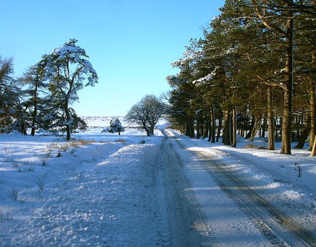 Sleightholme road through pinewoods
