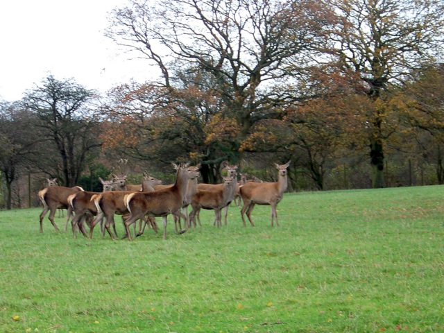 Red deer, Lambourn Woodlands
