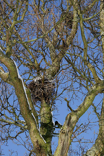 A carrion crow's nest on Buckholm Hill