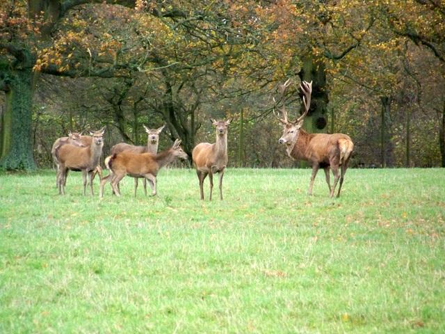 Red deer, Lambourn Woodlands