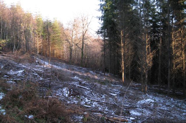 Snow-dusted brash, Haldon Forest Park