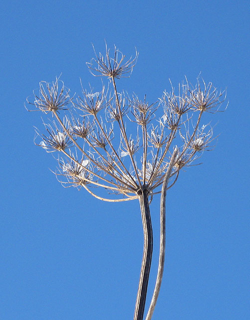Dried remnants of a hogweed