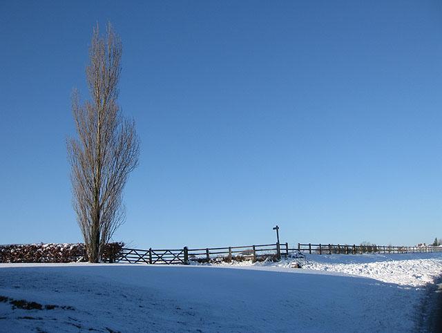 Winter poplar