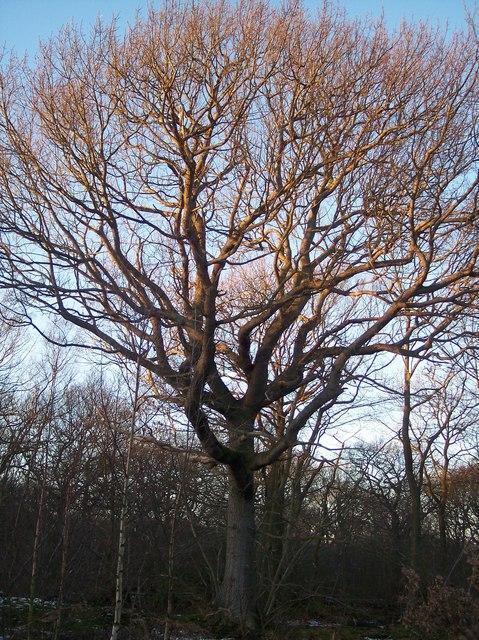 Tree in Grimshill Wood